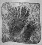 Дендриты манганитана известняке