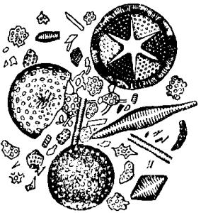 Панцыри диатомей в диатомите