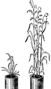 Влияние содержания в почве солей калия на развитие овса