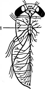Строение червя