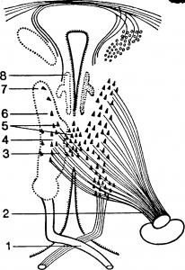 Центральный и периферический двигательный нейрон