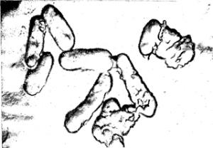Бактерии, способствующие окислению железа и серы Thiobacillus ferroxidans