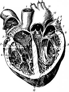 Вскрытое человеческое сердце
