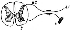 Рефлекс и рефлекторная дуга