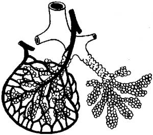 Схема дольки лёгкого