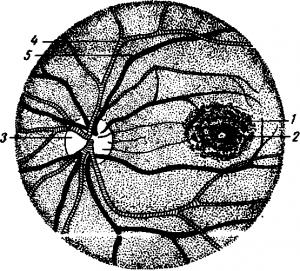 Сетчатка и ее строение