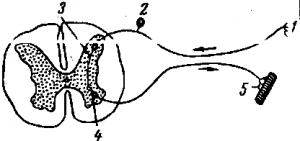 Рефлекторная дуга безусловного рефлекса схема 353
