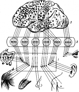 Значение участков головного мозга