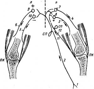 Координирующая роль центральной нервной системы