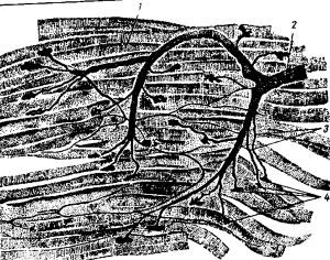 Передача возбуждения с нерва на мышцу