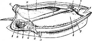 Строение сальпы