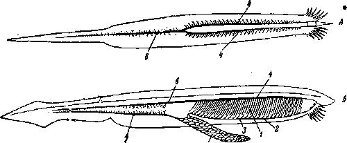 Кровеносная система ланцетника