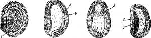 Размножение ланцетника