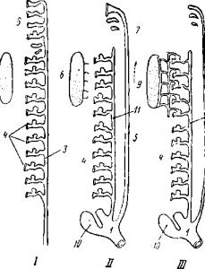 Развитие почек и почечных протоков позвоночных