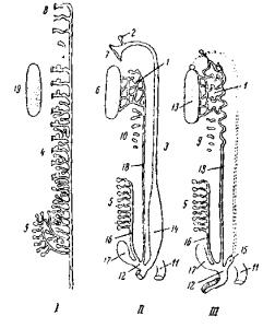 Схема почечных канальцев амниот и их отношение к половым железам