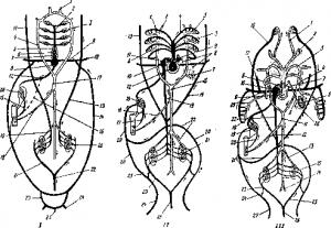 Схема кровеносной системы акулы