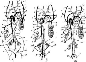 Схема строения кровеносной системы у рептилий (у черепахи)