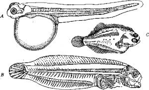 Камбаловидные камбала (Pleuronectiformes)