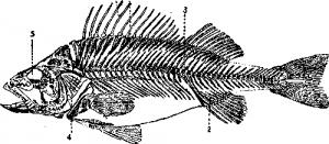 Костистые рыбы