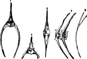 Позвонки костистой рыбы