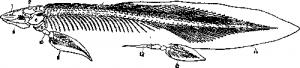 Скелет цератода сбоку