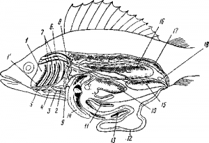 Органы пищеварения костистой рыбы