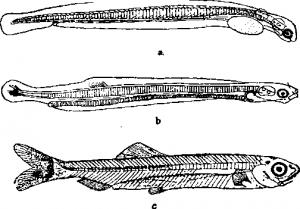 Сельдеобразные рыбы