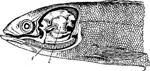 Анабас (Anabas scandens)