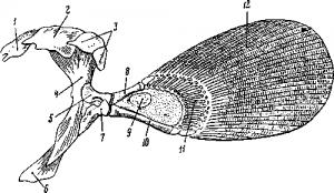 Пояс передних конечностей и грудной плавник бихиря