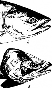Миграция рыб