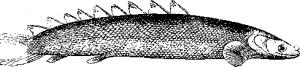Polypterus senegalensis (сенегальский многопер)