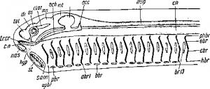Схема строения головы и висцерального аппарата наружножаберного позвоночного