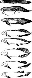Эволюция признаков от Dipterus до Lepidosiren