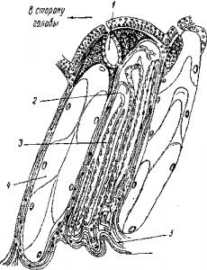 Разрез через кожу цейлонской червяги (Ichthyophis glutinosus)