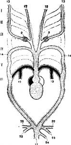Схема артериальных дуг тритона