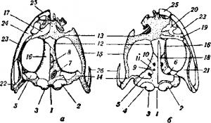 Череп съедобной лягушки (Rana esculenta)