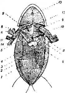 Мышечная система лягушки