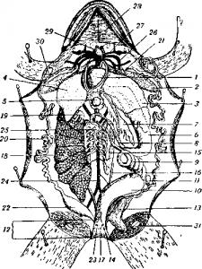 Внутренности самки травяной лягушки