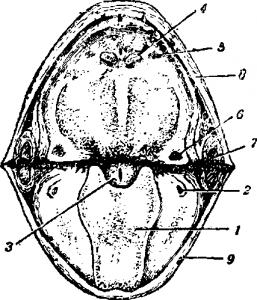 Ротовая полость самца зеленой лягушки