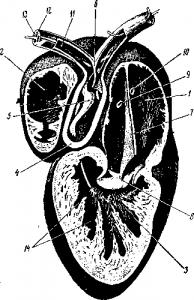 Вскрытое сердце лягушки
