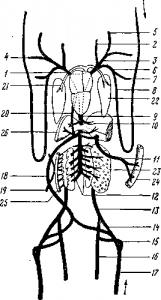 Венозная система лягушки