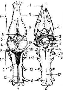 Головной и начало спинного мозга лягушки