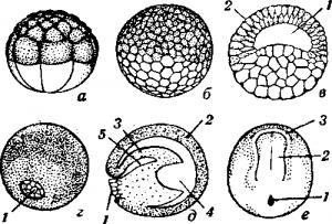 Развитие яйца лягушки