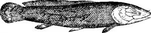 Ильная рыба, или амия