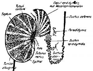 Половые органы позвоночных