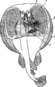 Электрические органы ската Torpedo