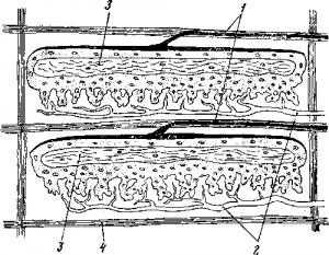 Строение электрического органа ската