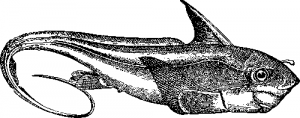 Рыба химера