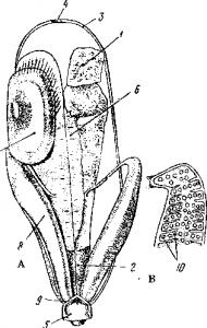 Мочеполовые органы самца Callorhynchus
