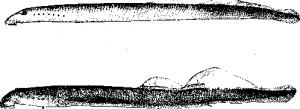 Каспийская минога